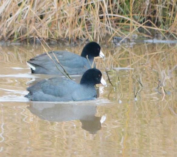 American Coot 2017-2