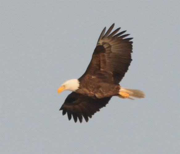 Bald Eagle 2017-37