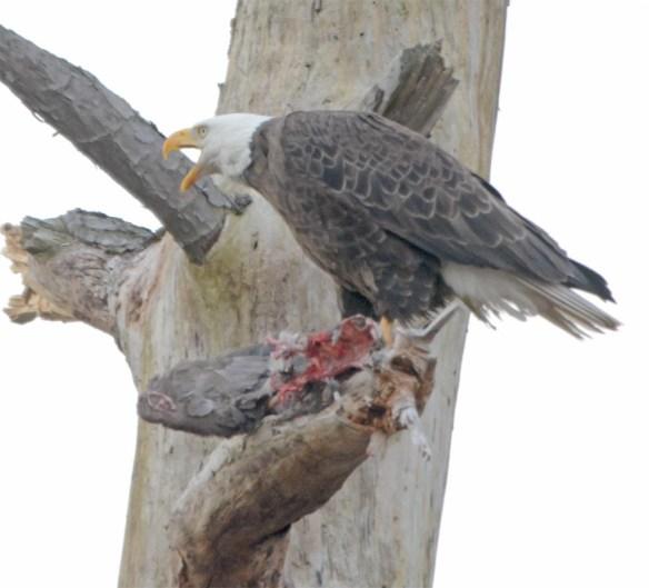 Bald Eagle 2017-39