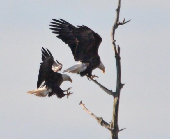 Bald Eagle 2017-45