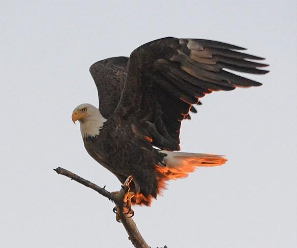 Bald Eagle 2017-47