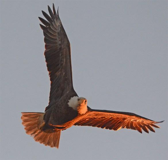 Bald Eagle 2017-48