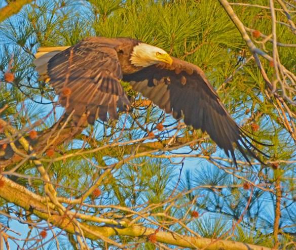 Bald Eagle 2017-50