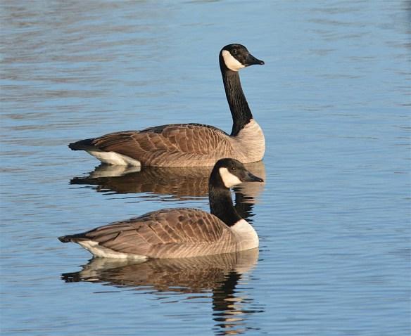 Canada Goose 2017-1
