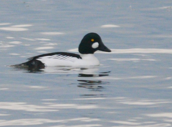 Common Goldeneye 2017-37