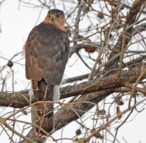 Cooper's Hawk 2017-1