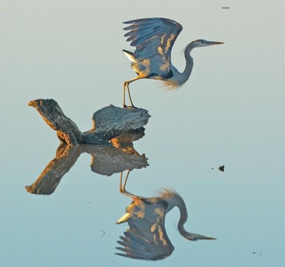 Great Blue Heron 2017-16