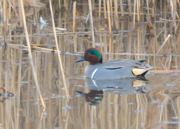 Green Winged Teal 2017-2