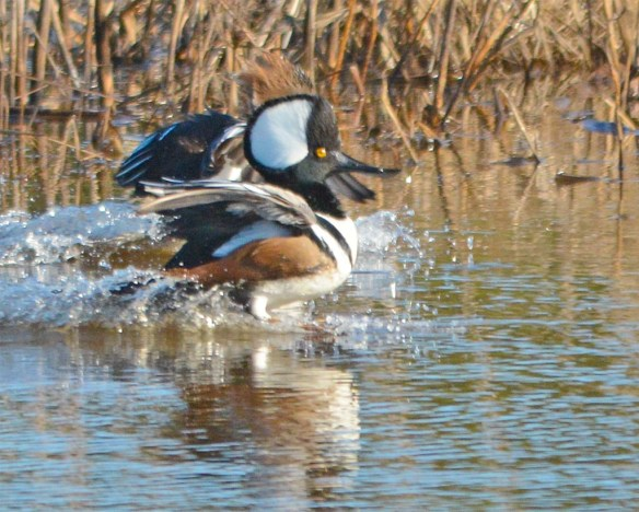 Hooded Merganser 2017-786