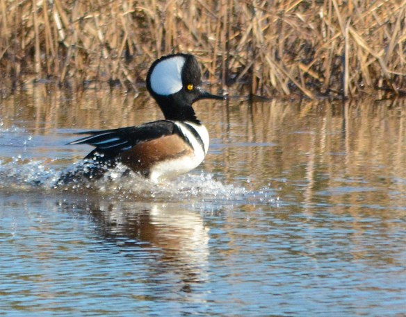 Hooded Merganser 2017-788