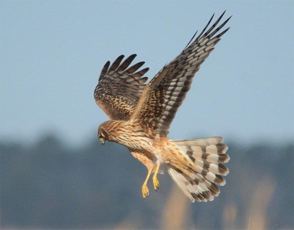 Northern Harrier 2017-5
