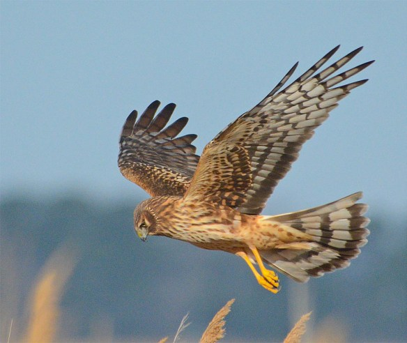 Northern Harrier 2017-6