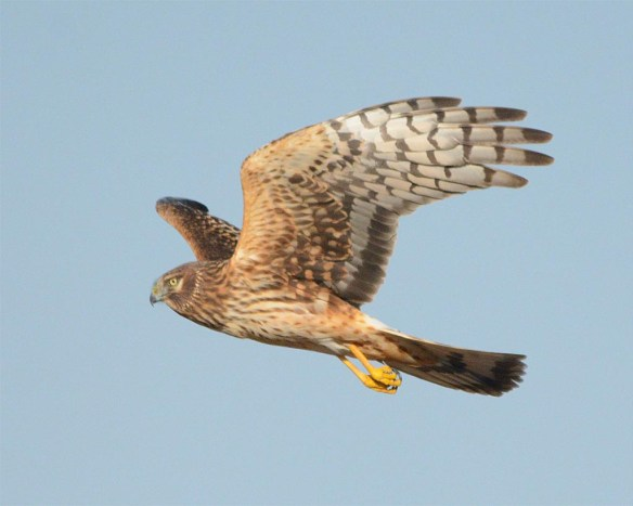 Northern Harrier 2017-8