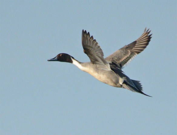 Northern Pintail 2017-23