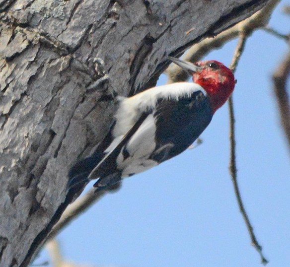 Red Headed Woodpecker 2017-11