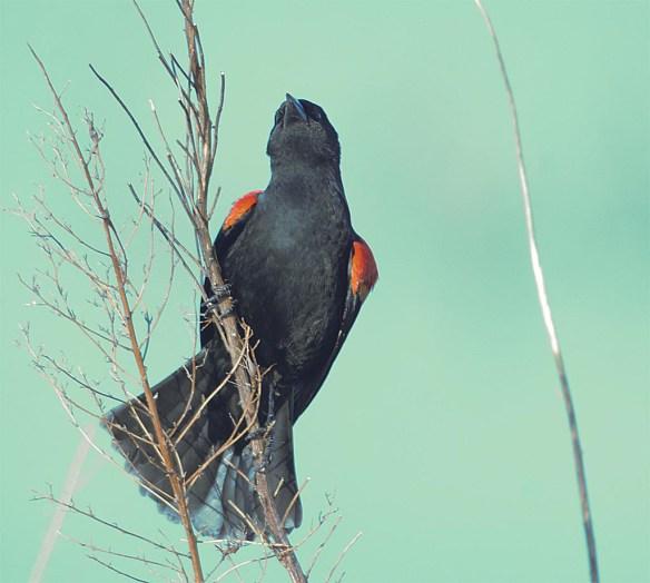 Red Winged Blackbird 2017-2