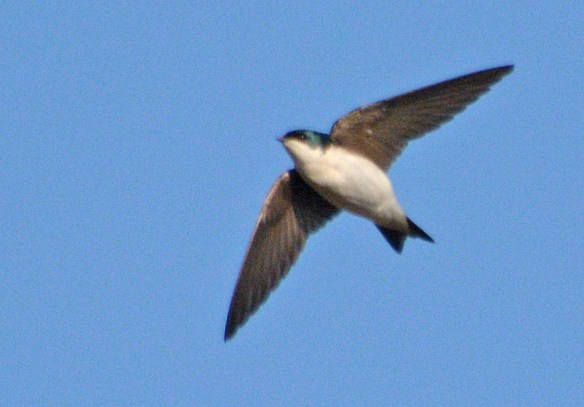 Tree Swallow 2017-1