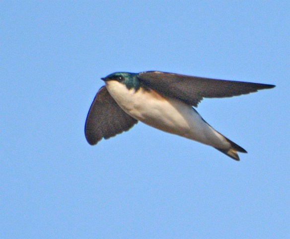 Tree Swallow 2017-2