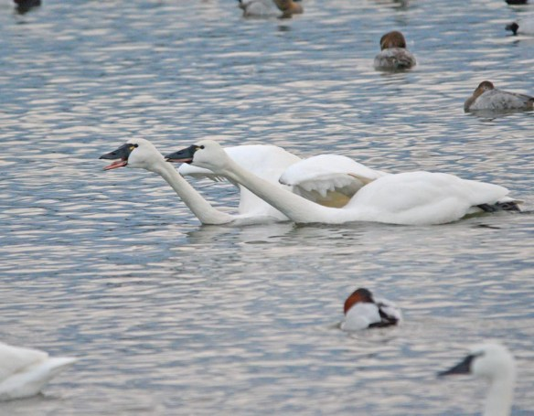 Tundra Swan 2017-30