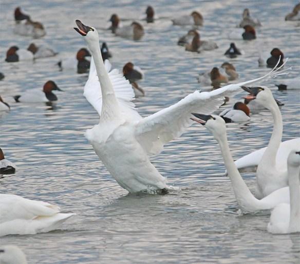 Tundra Swan 2017-31