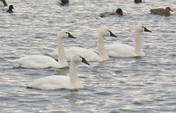Tundra Swan 2017-34