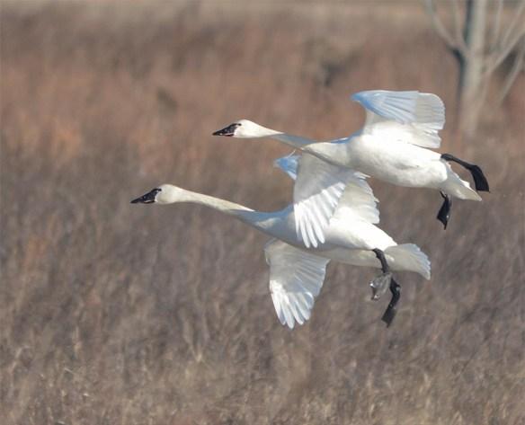 Tundra Swan 2017-50