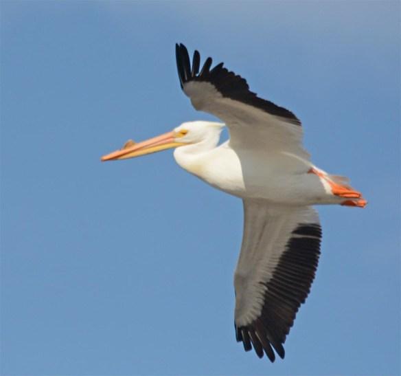 American White Pelican 2017-5