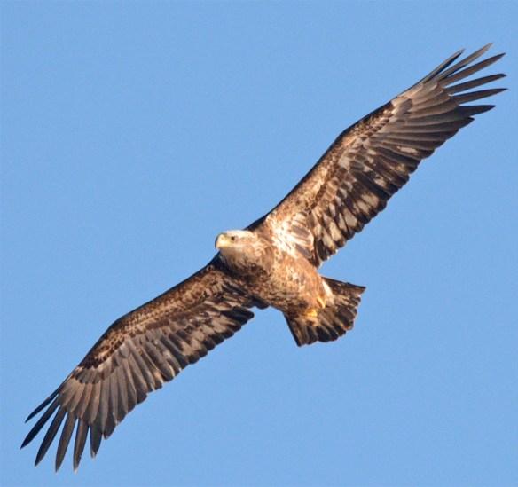 Bald Eagle 2017-62