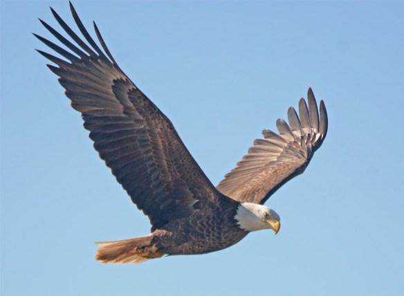 Bald Eagle 2017-63