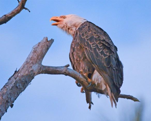Bald Eagle 2017-65