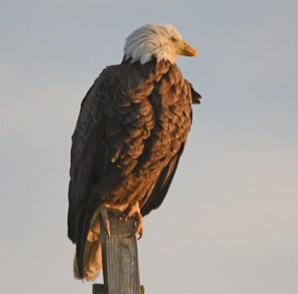 Bald Eagle 2017-66