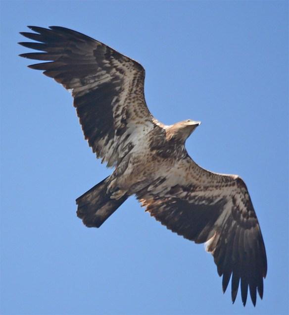 Bald Eagle 2017-74