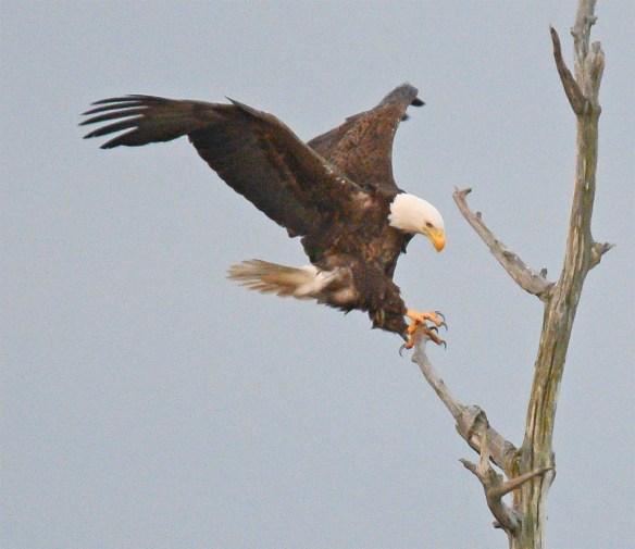 Bald Eagle 2017-86