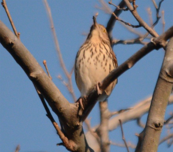 Brown Thrasher 2017-1