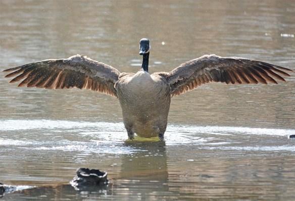 Canada Goose 2017-9