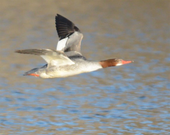 Common Merganser 2017-5