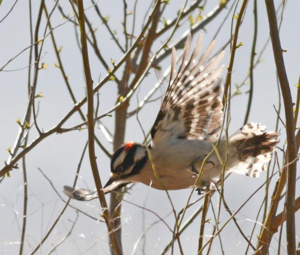 Downy Woodpecker 2017-2