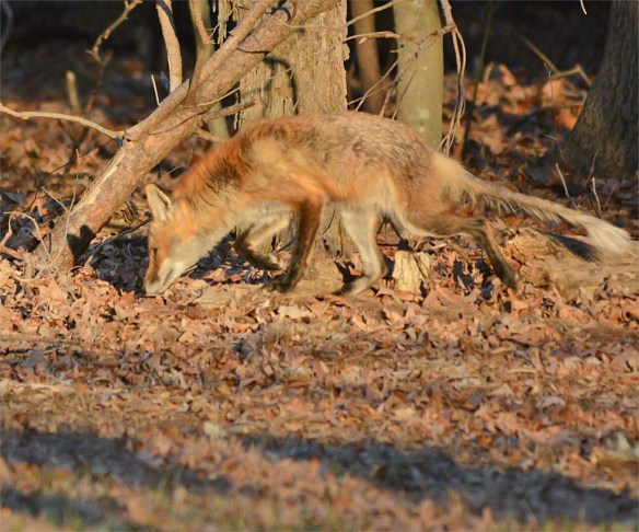 Fox 68