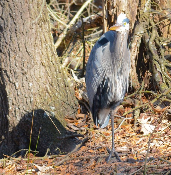 Great Blue Heron 2017-19