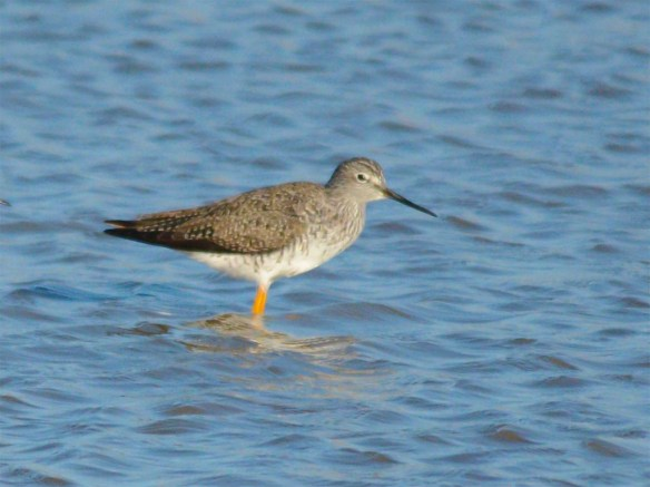 Greater Yellowlegs 2017-4