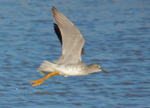 Greater Yellowlegs 2017-5