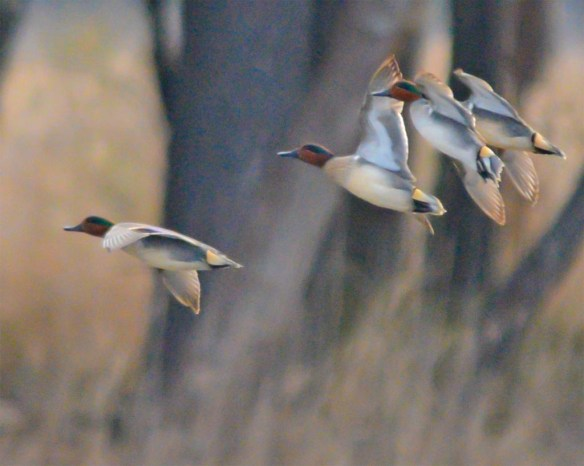 Green Winged Teal 2017-7