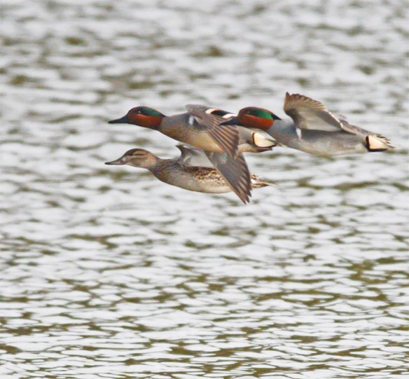 Green Winged Teal 2017-8