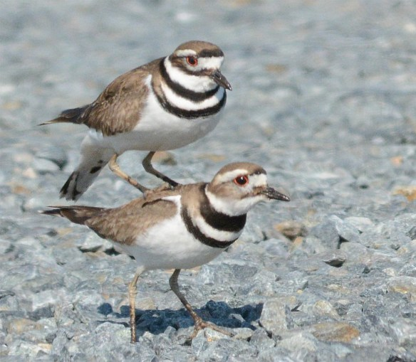 Killdeer 2017-3