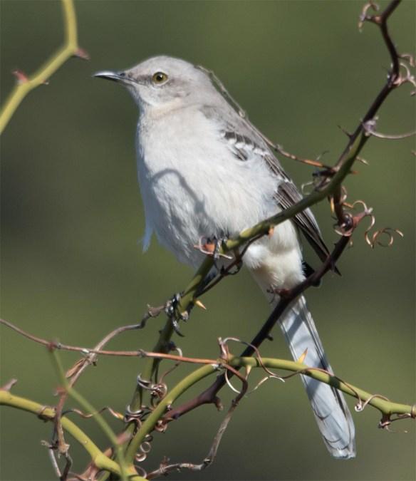 Mockingbird 2017-1