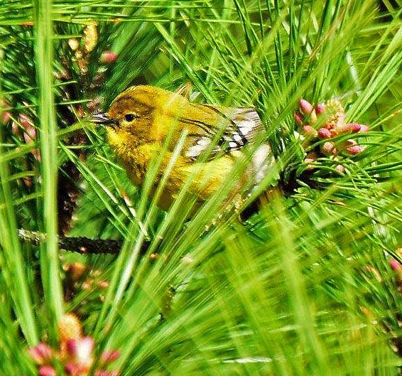 Pine Warbler 2017-1