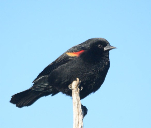 Red Winged Blackbird 2017-10