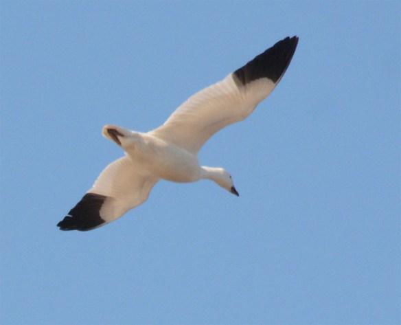 Snow Goose 2017-19