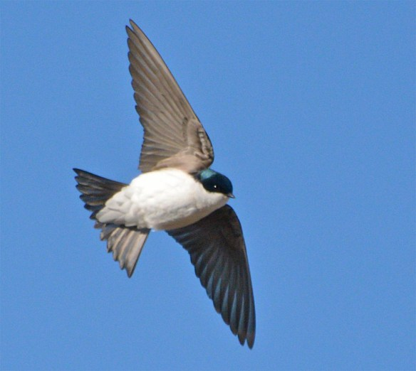 Tree Swallow 2017-6