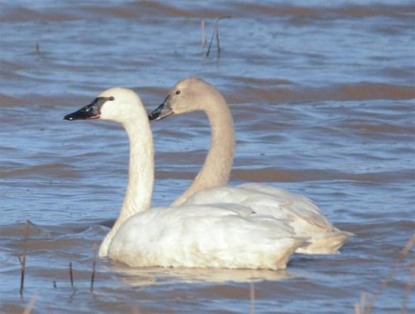 Tundra Swan 2017-56